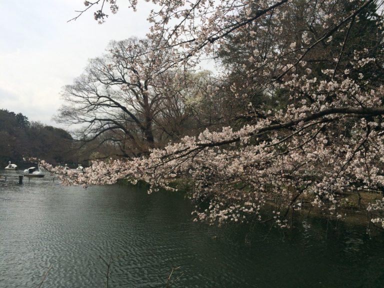 ひょうたん橋の桜