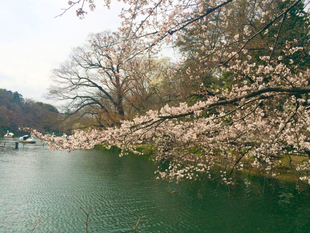一週間前の桜