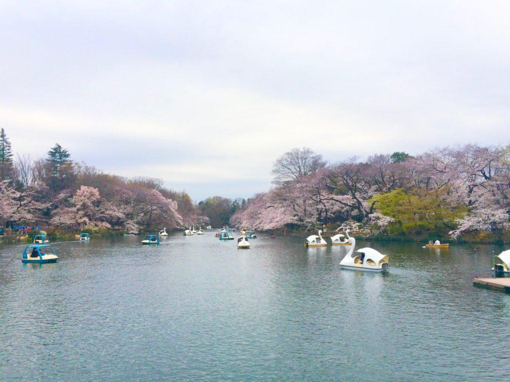 井の頭公園池の桜
