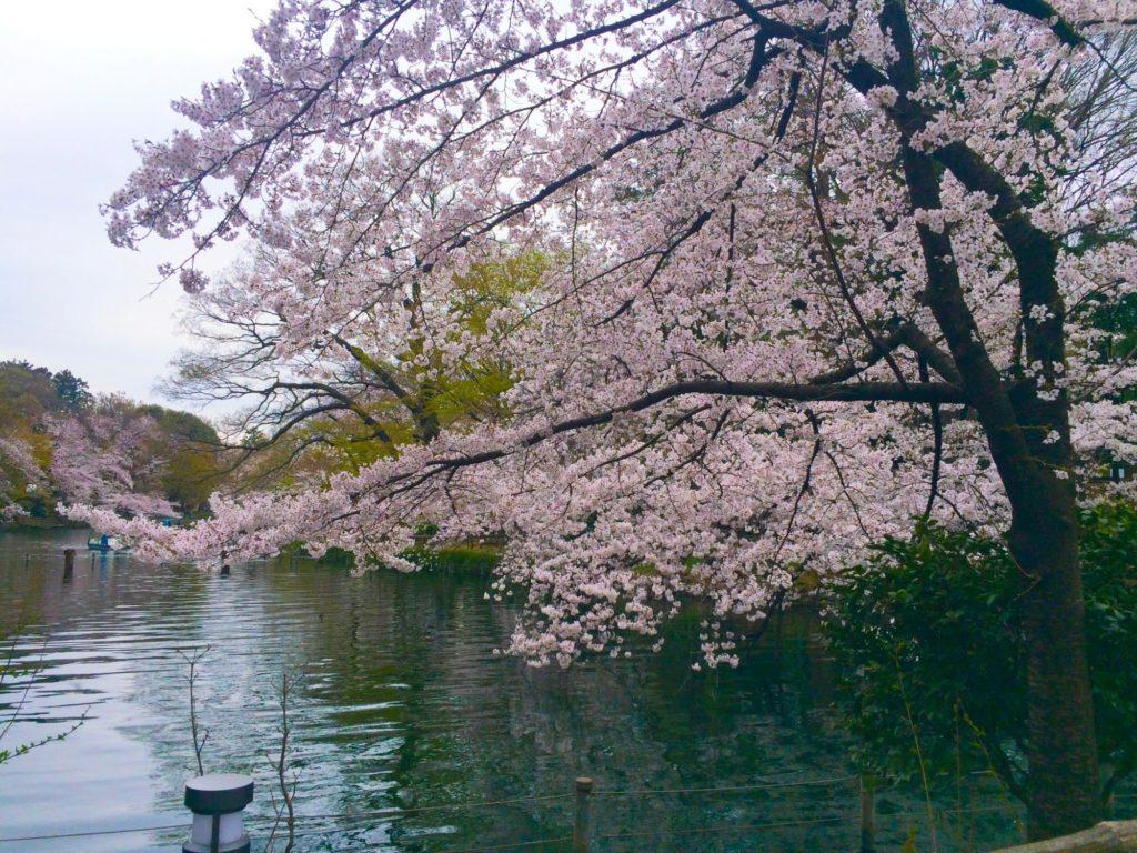 井の頭公園ひょうたん池桜