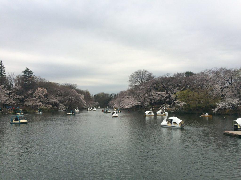井の頭公園池桜暗い