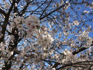 桜満開アップ