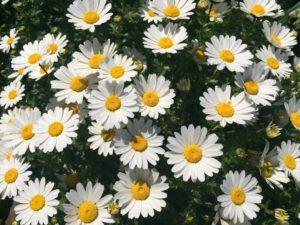 マーガレット花