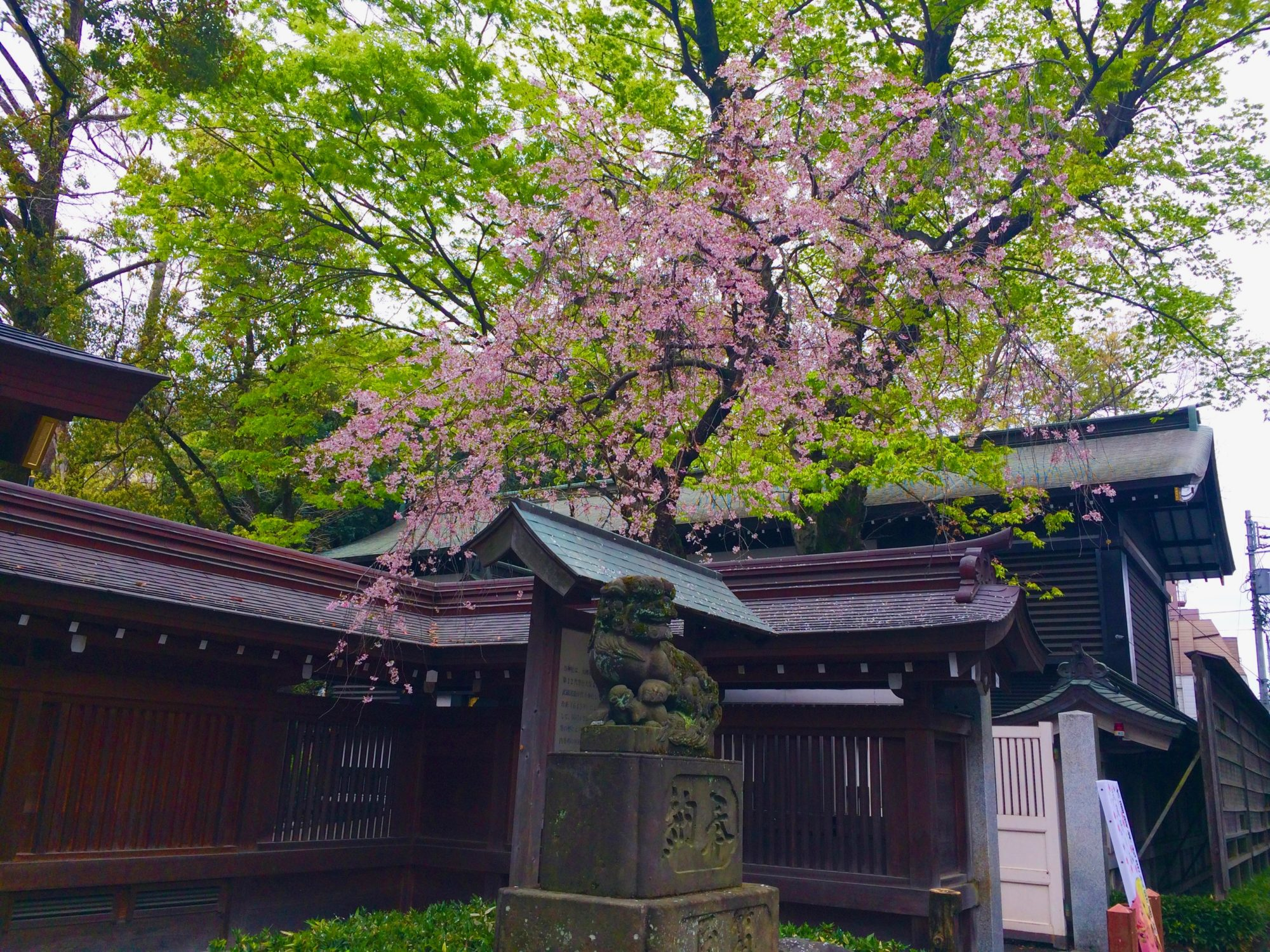 大国魂神社の桜