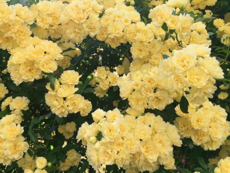 黄色い小バラ