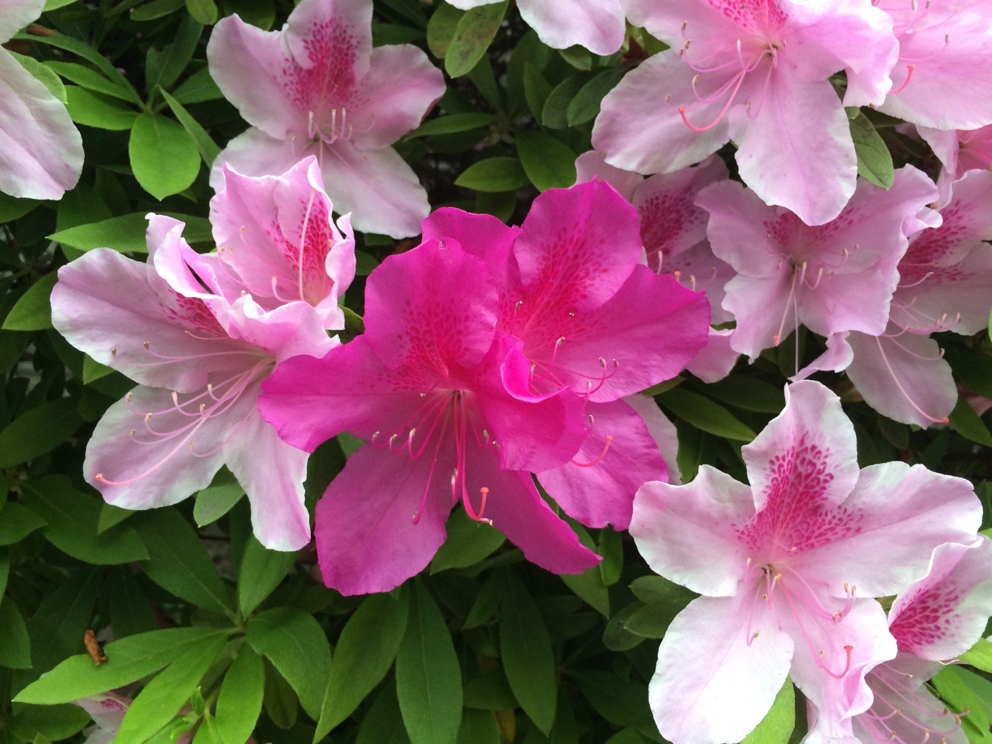 ツツジピンク色