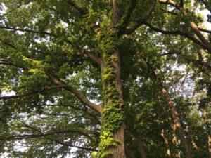 蔦のからまる木