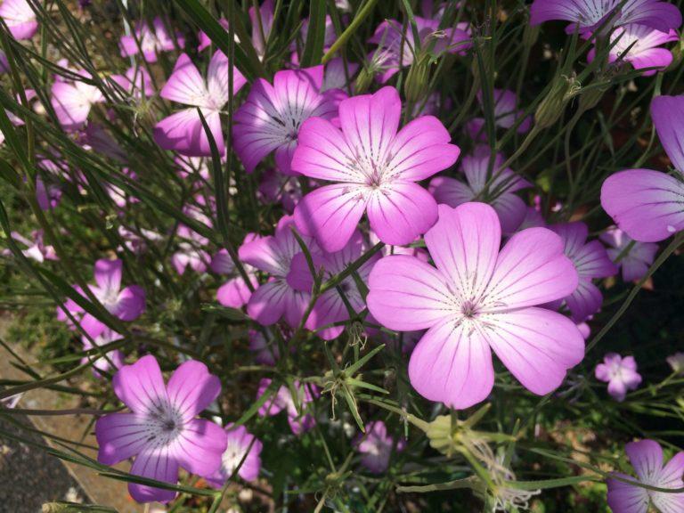 花園ピンク
