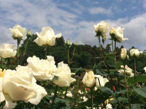 神代植物公園ばら園