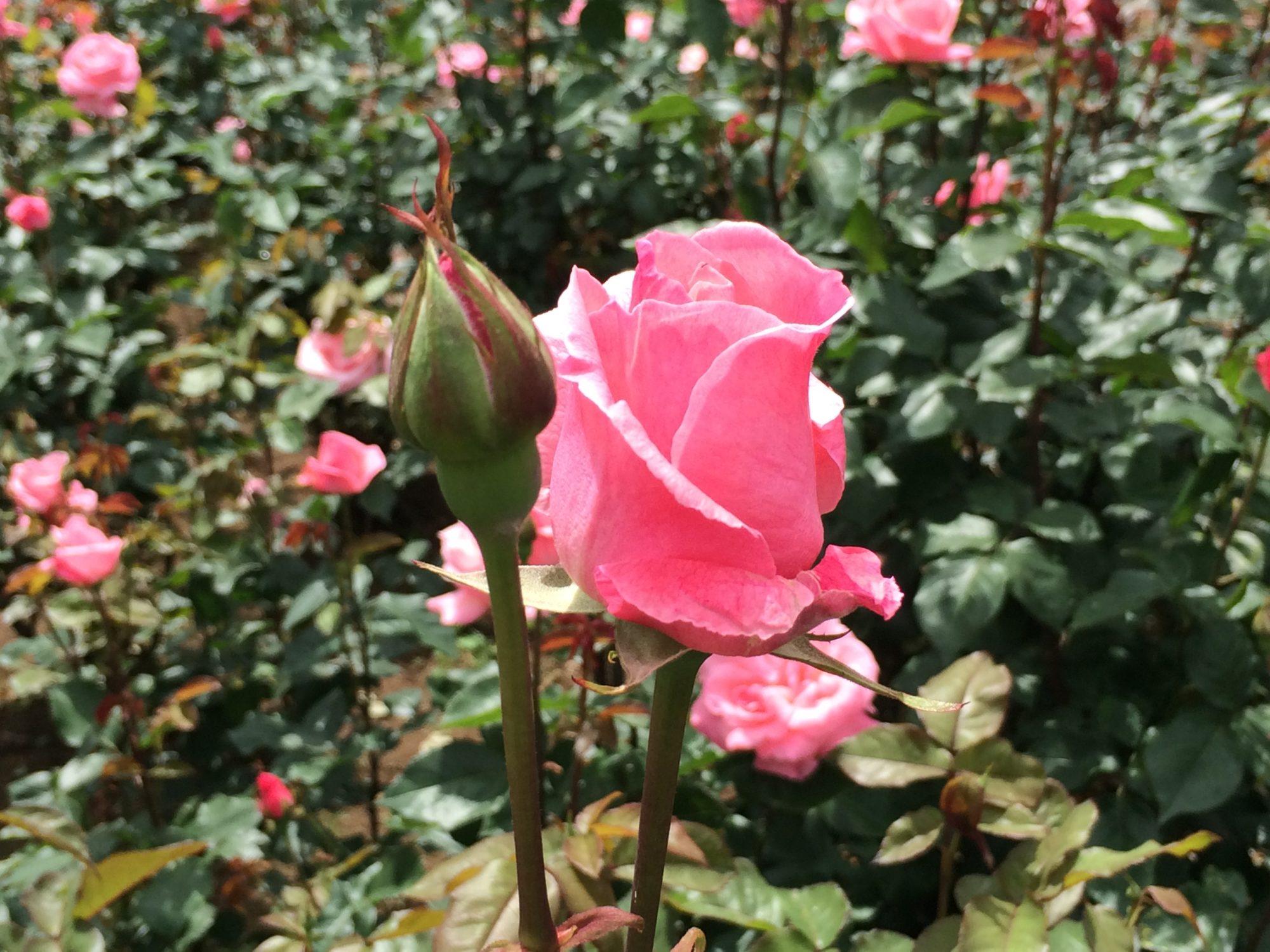 ピンクのばら蕾