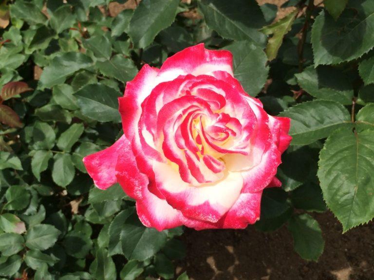 紅白のバラ