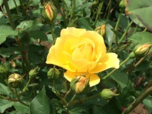 黄色バラ一輪