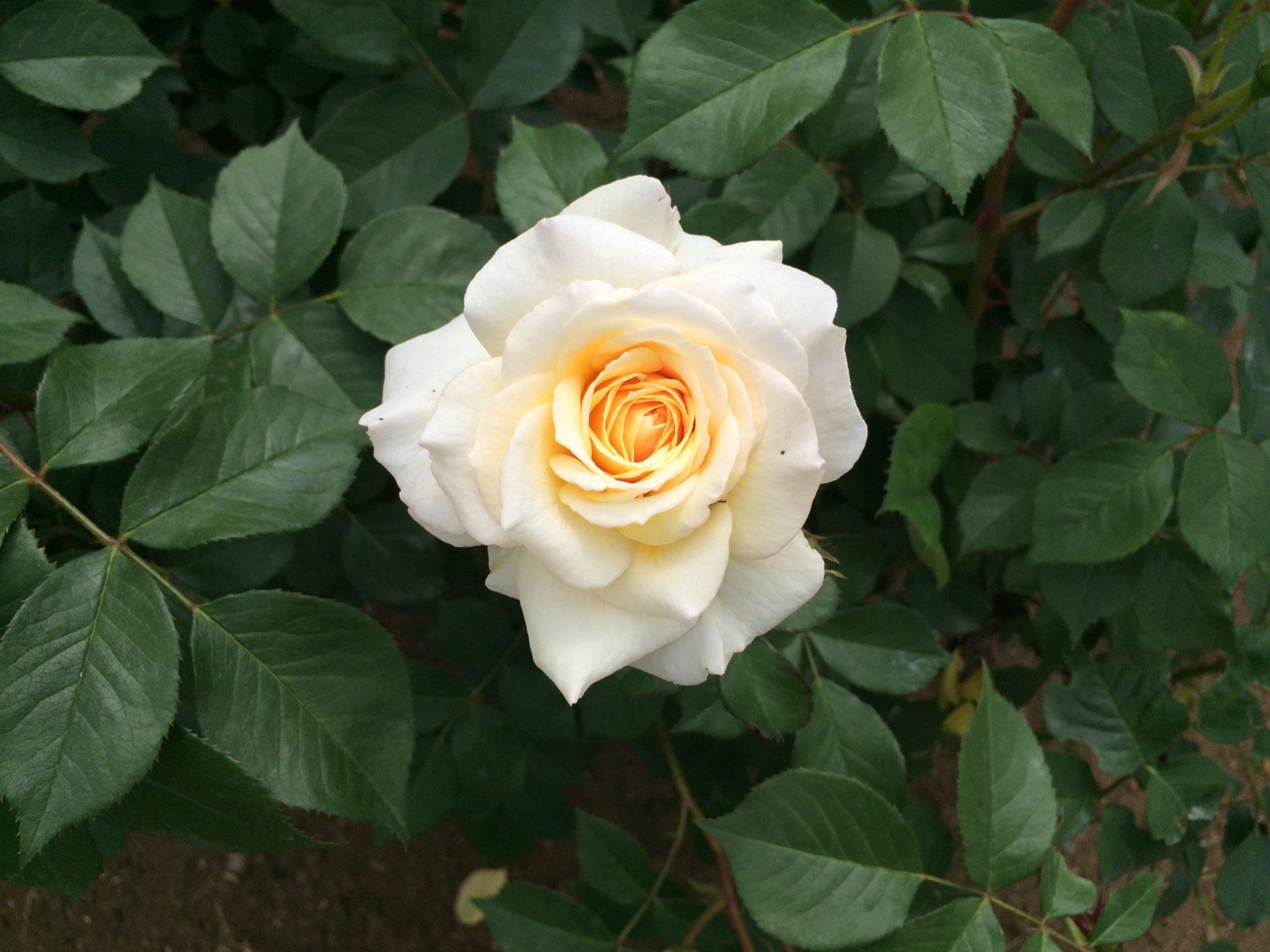 白バラ一輪