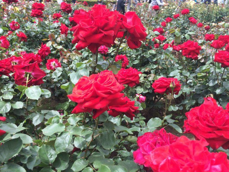 赤バラ群生