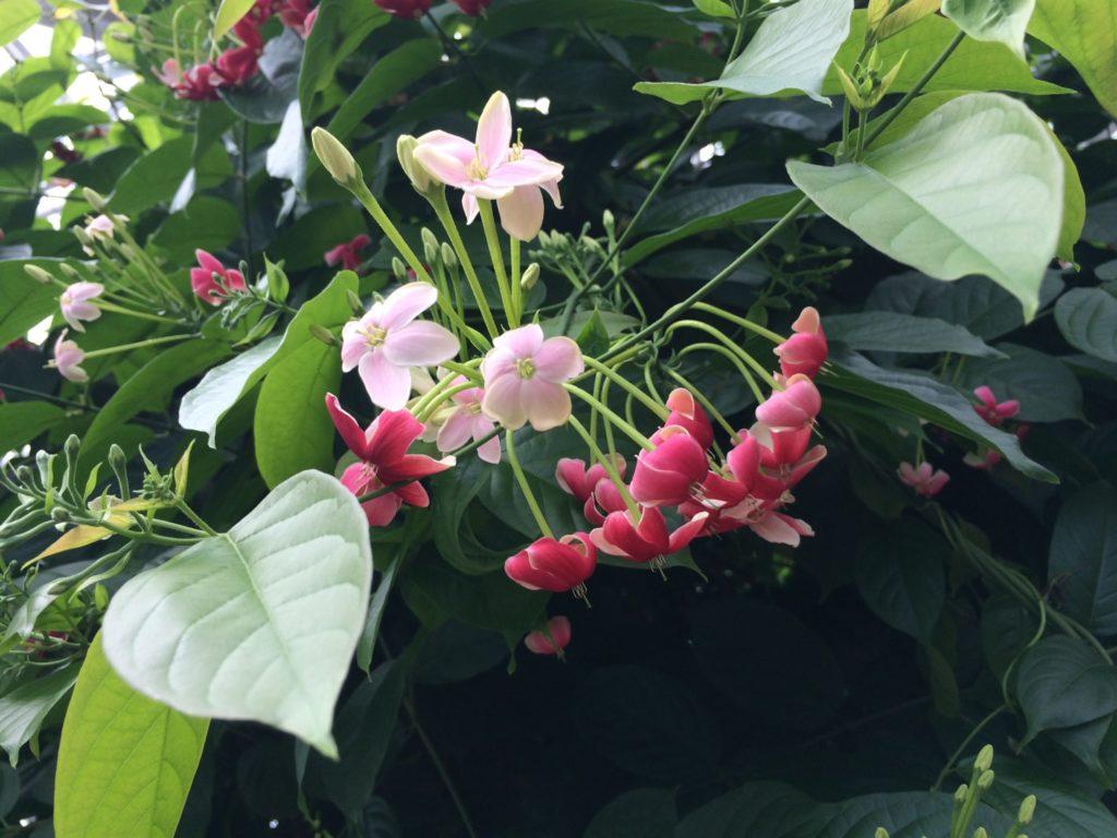 シクンシの花