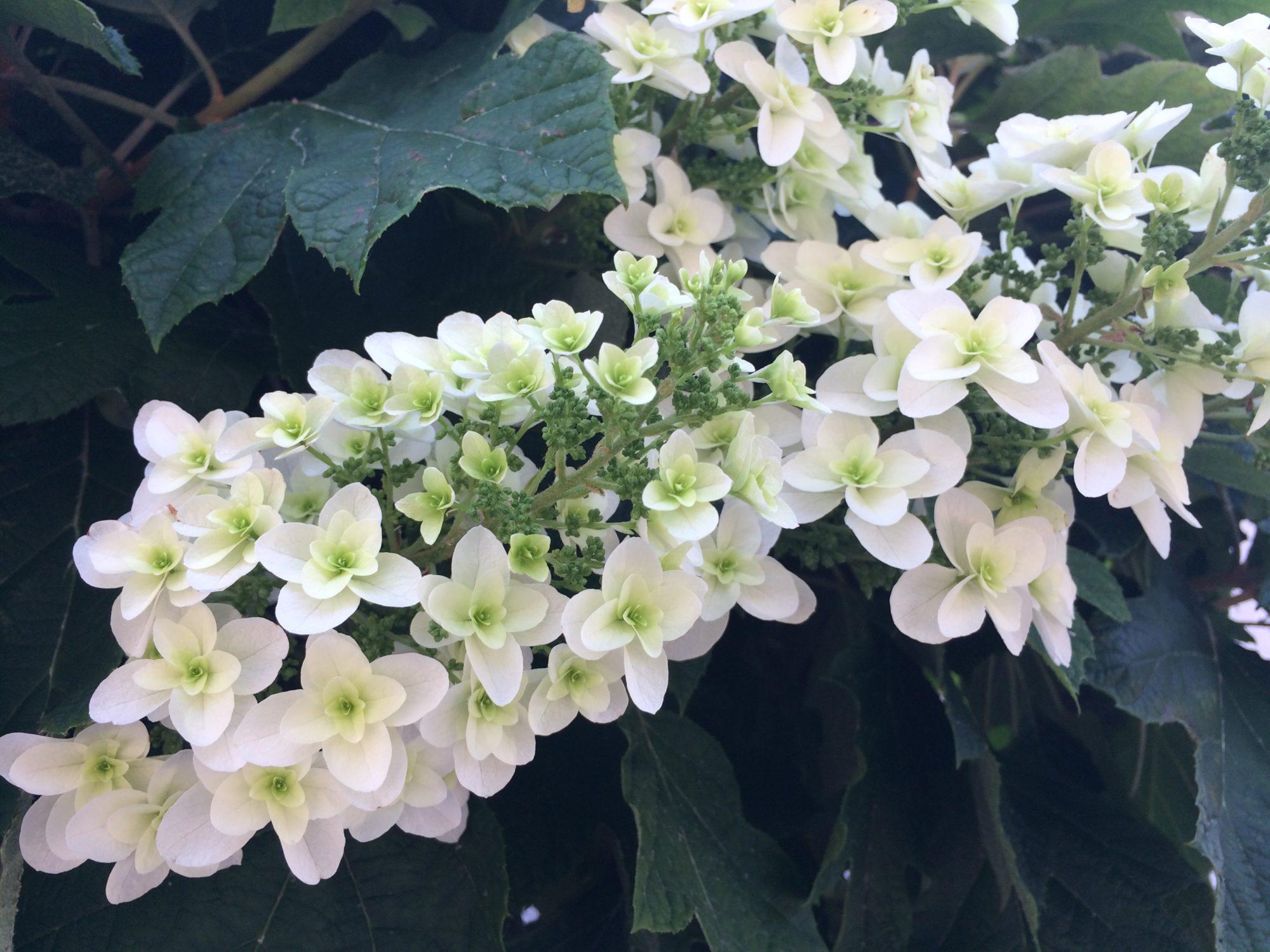白い花紫陽花