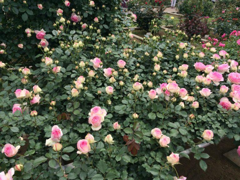 バラの花ぞの薄ピンク