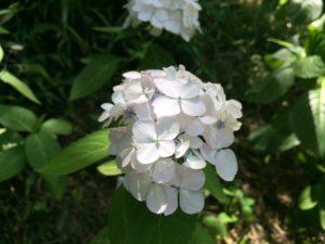 白紫陽花一輪