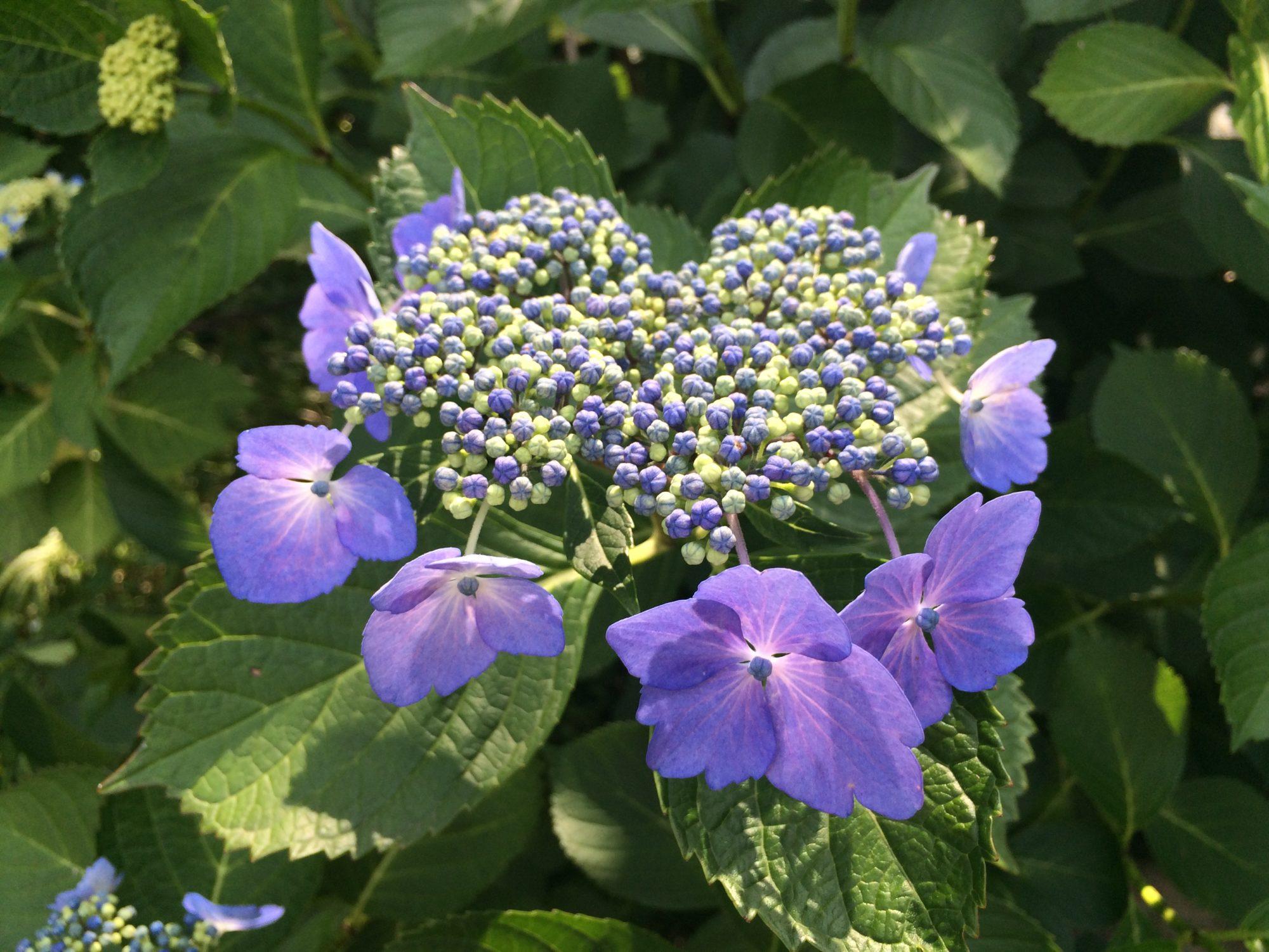 紫陽花青紫はな