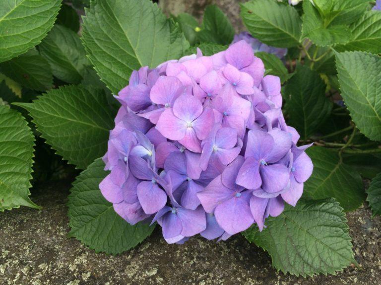 紫陽花_紫