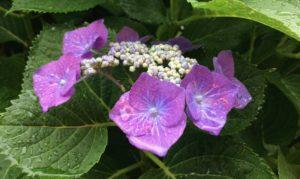 紫陽花紫雨上がり