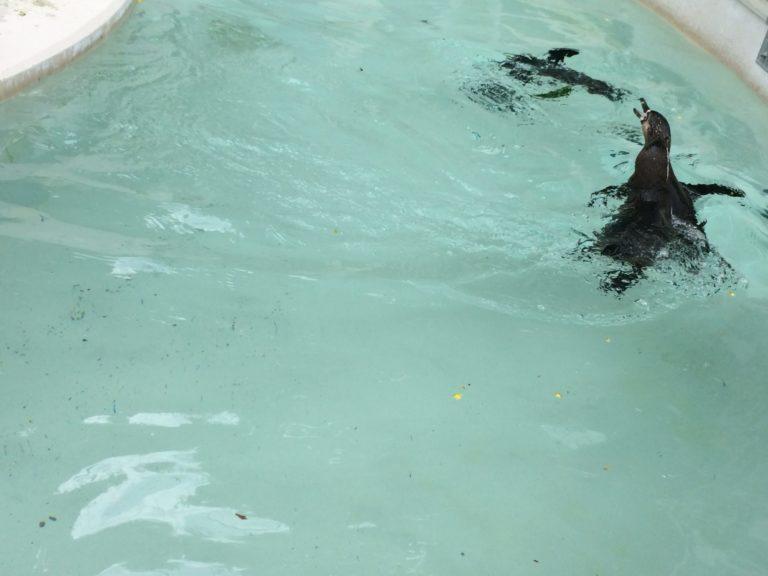 井の頭ペンギン