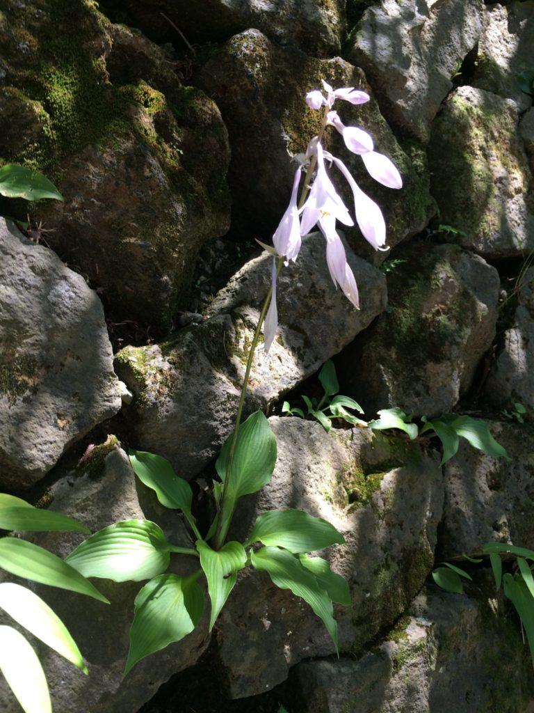 高尾山オオギボウシ