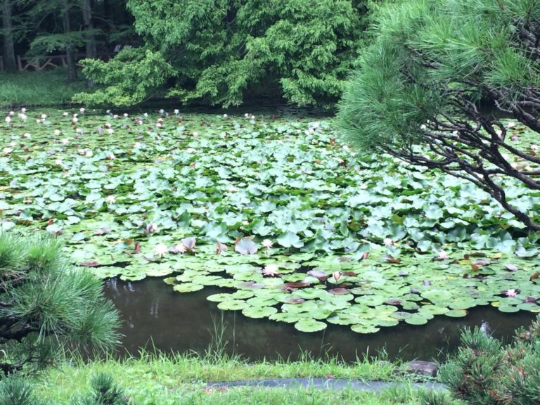 植物公園スイレン