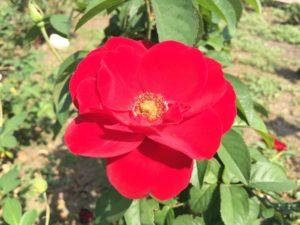 薔薇プスタ