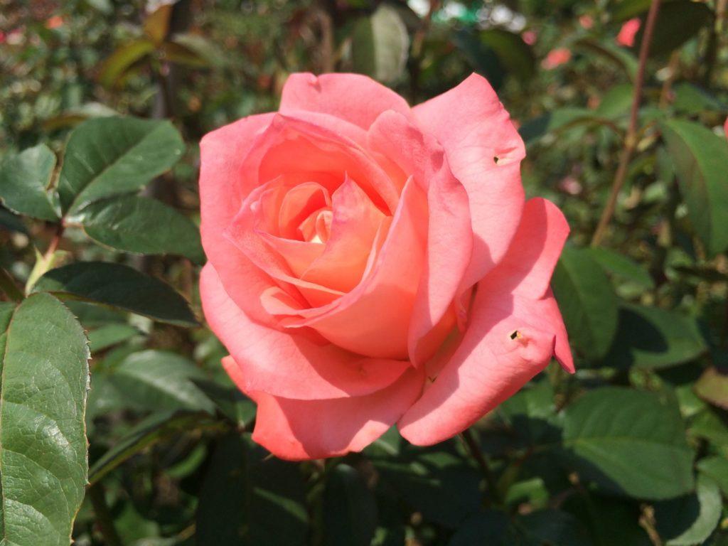 薔薇フラワー・ガール