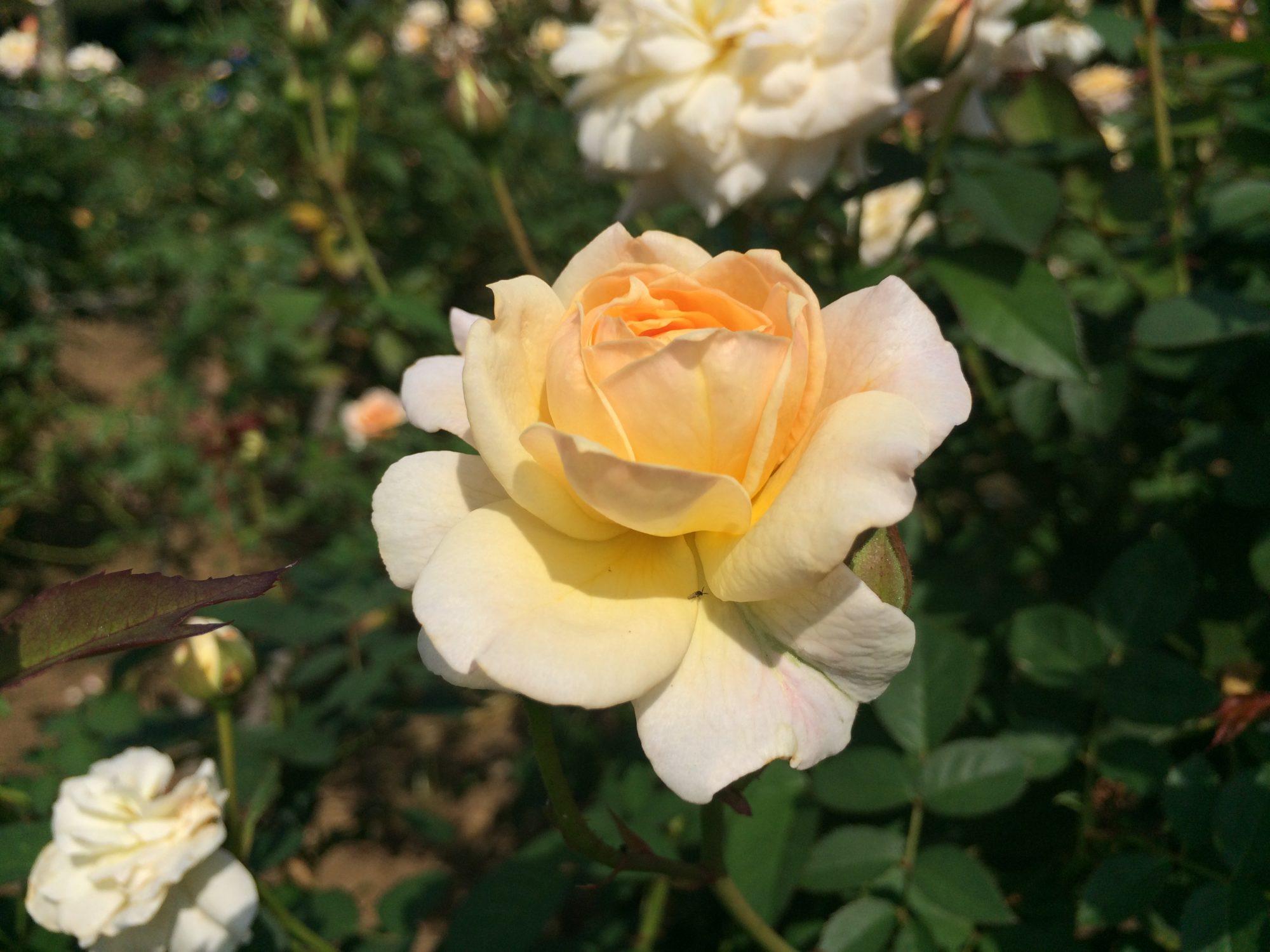 薔薇クリーム色