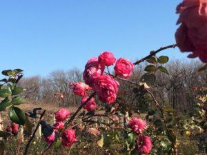 神代植物公園一月
