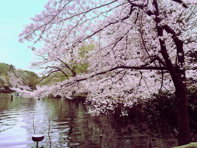 写真キレイ桜