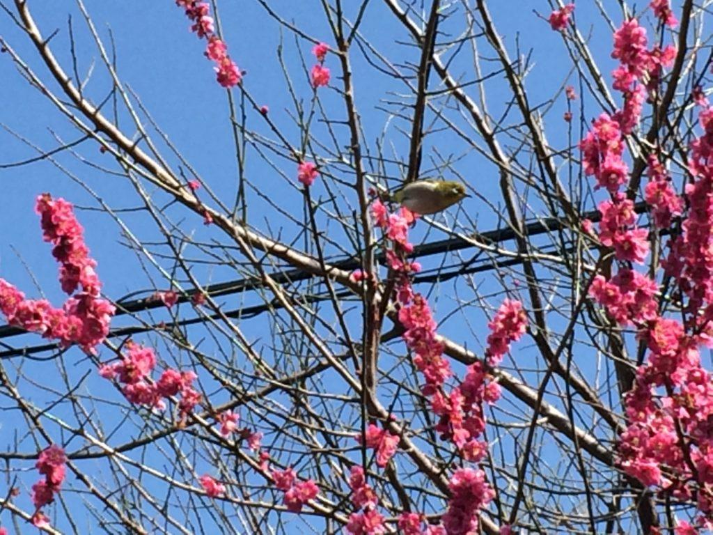 梅と鳥電線あり
