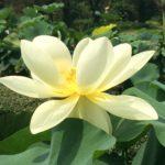 引き寄せのハスの花